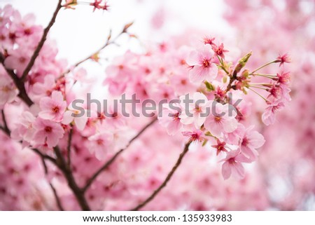 Beautiful pink cherry blossom (Sakura) flower at full bloom in Japan
