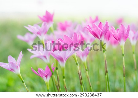 beautiful pink flowers in soft focus