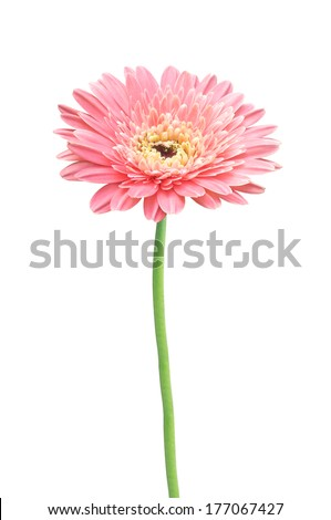 beautiful pink gerbera daisy flower isolated on white background