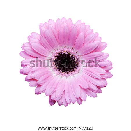 Beautiful Pink Gerbera flower isolated with clipping path