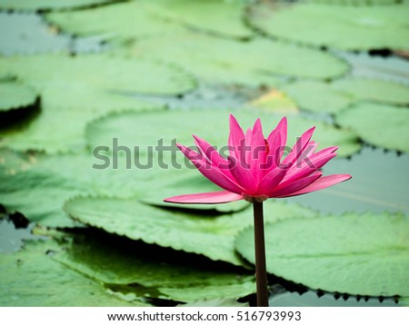 Beautiful Pink Lotus, Sunny is pink lotus in pond.