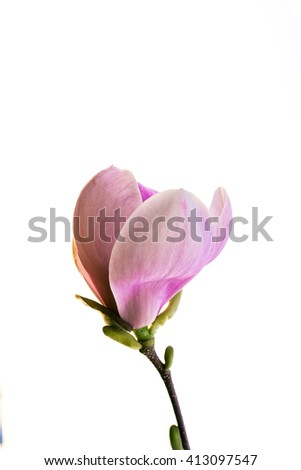 Beautiful pink magnolia with soft focus. Coloured applied effect of toning.