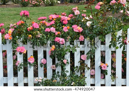 Beautiful pink roses growing on white picket fence