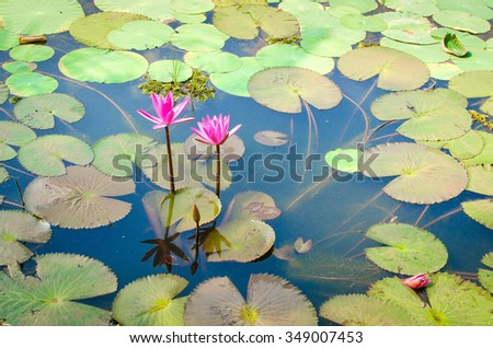 Beautiful Pink Water lilly in a pond with green leaves