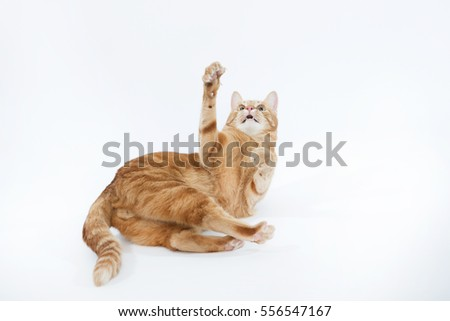 Beautiful playful red cat with ginger eyes posing while lying on a white background closeup