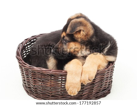 beautiful puppy in a wicker basket isolated on white background