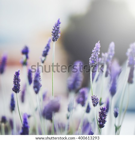 beautiful purple wild meadow lavender flowers on natural soft sunlight background in morning field. Outdoor spring photo