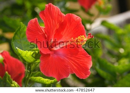 Beautiful red hibiscus flower