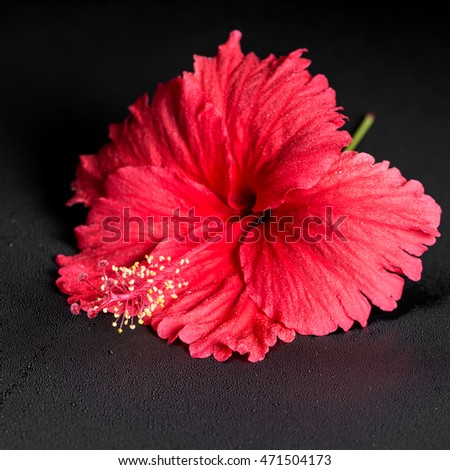 beautiful red hibiscus flower with dew on black background, closeup, spa background