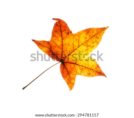 Beautiful red leaf on the white background. Autumn theme.