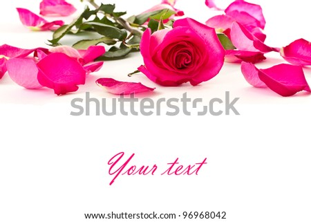 beautiful red rose and rose petals on white background