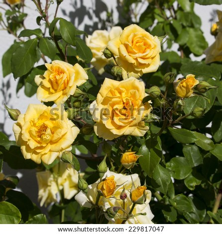 Beautiful  scented romantic  intense  yellow  hybrid tea  roses in bloom in late spring  are  a gardener's delight and a joy to behold.