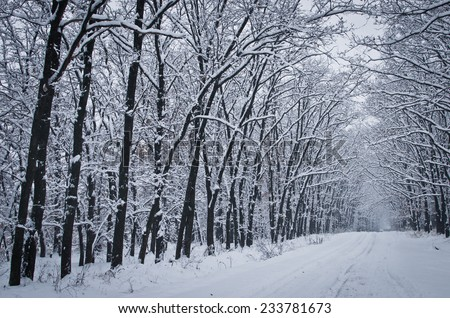 Russian Winter Birch Grove After Snowfall Stock Photo ...
