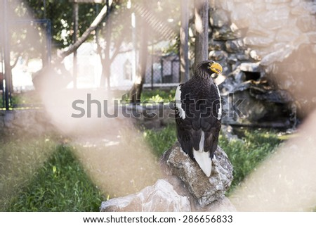 Beautiful Steller's sea eagle in the zoo