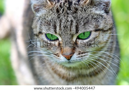 Beautiful striped cat with green eyes. Adult gray tabby cat is outdoor