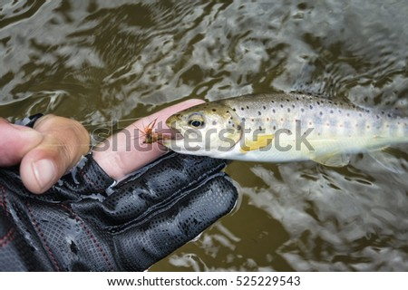 Beautiful trout caught fly fishing tackle.