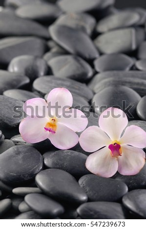 Beautiful two orchid and black stones background