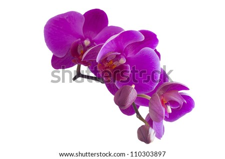 Beautiful Violet Orchid with Fresh Buds isolated on white