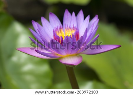 Beautiful water lily hybrid flower.