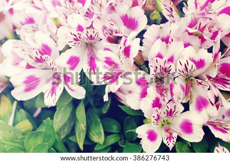 Beautiful white and pink flowers of a lily. Flower background with pink lilies