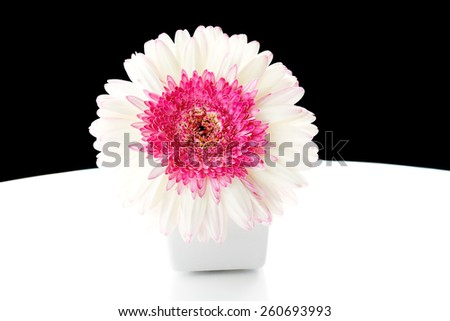 Beautiful white and pink gerbera flower in jar