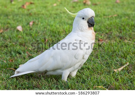 Beautiful white Cockatoo, Sulphur-crested Cockatoo (Cacatua galerita)