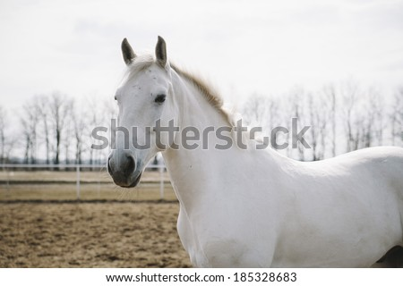 beautiful white horse in the summer field