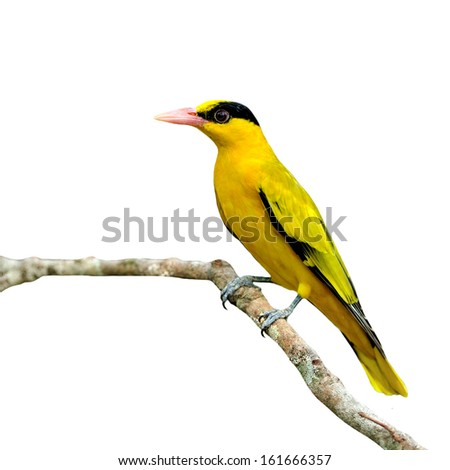 Beautiful Yellow Bird, Black-naped Oriole (Oriolus chinensis) isolated on white background