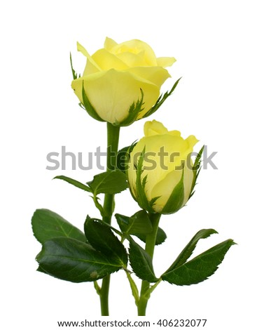beautiful yellow rose flowers isolated on white background