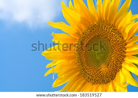 Beautiful yellow sunflower in the sun against blue sky.