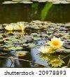 beautiful yellow water lily (lotus) - stock photo