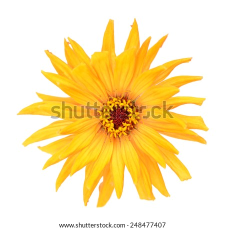 beautiful yellow zinnia flower isolated on white