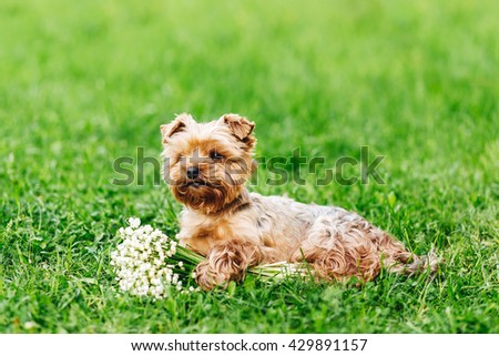 Beautiful Yorkshire Terrier Dog with bouquet of flowers on the green grass