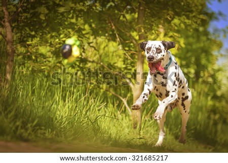 beautiful young and fun happy dalmatian dog or puppy running flying and jump comic dog dancing in summer nature