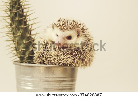 Beautiful, young, cute, funny and cheerful African pygmy hedgehog curled up in a ball sits beside a potted cactus