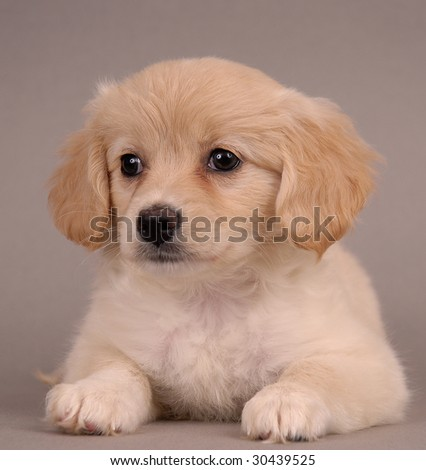 Beautiful young puppy portrait photograph taken in studio