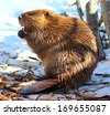 Beaver (North American) - stock photo