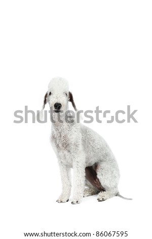 Bedlington terrier in front of white background