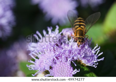 bee carabinae sitting on a purple flower ageratum, macro photography