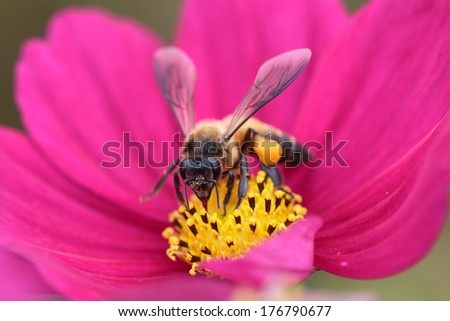 Bee in flower bee amazing,honeybee pollinated of red flower