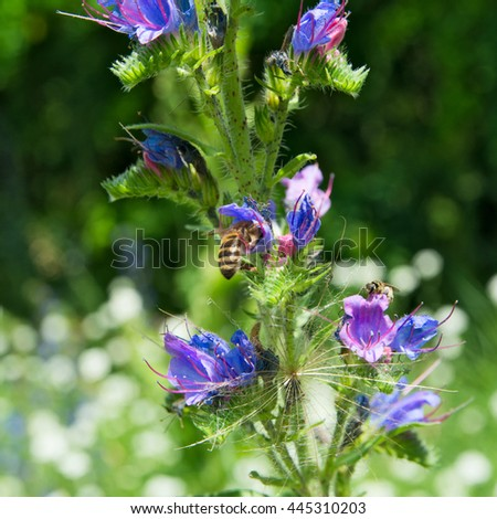 Bee on the blue flower