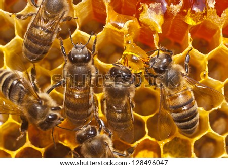 Bees take honey from the resulting drop