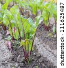 Beet cultivation on open soil. Shallow depth-of-field. - stock photo