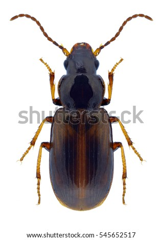 Beetle Acupalpus meridianus on a white background