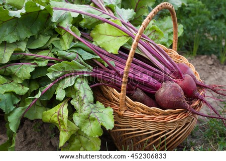 Beets. Fresh Beets In Wicker Basket On Vegetable Garden Summer Close Up.