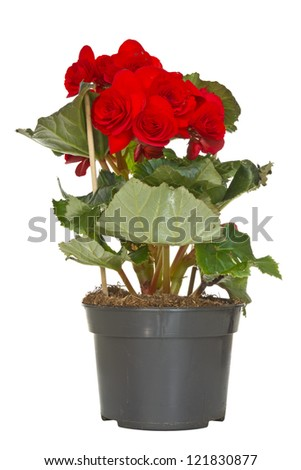 Begonia flower in a pot. Isolated on white background