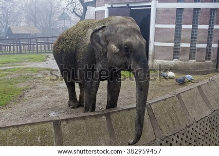 Belgrade, Serbia - January 9, 2014: Elephant at Belgrade ZOO communicating with visitors.