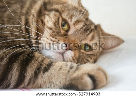 Bengal cat. beige cat posing for a photograph