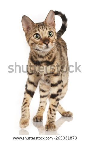 Bengal cat from the front isolated