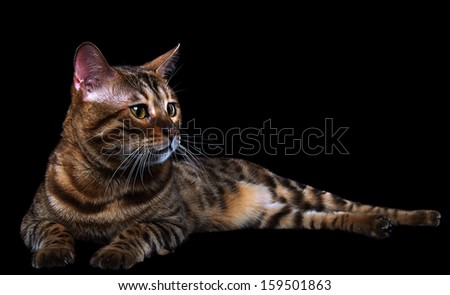 Bengalensis cat ifs isolated on a black background.
